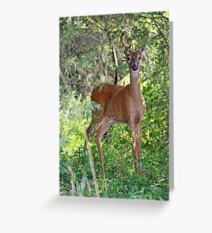 Whitetail Deer Buck in Velvet - 6 Pointer Greeting Card