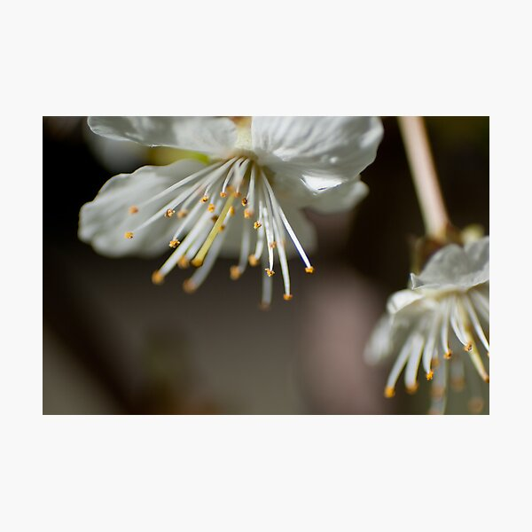 Cherry Blossoms Macro Photographic Print