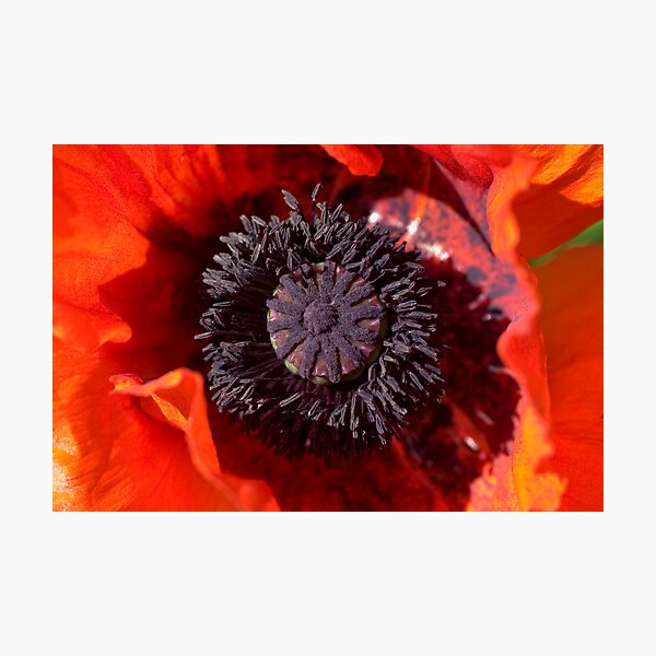 Red Poppy Heart Photographic Print