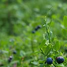 Blueberries by Janne Keinänen