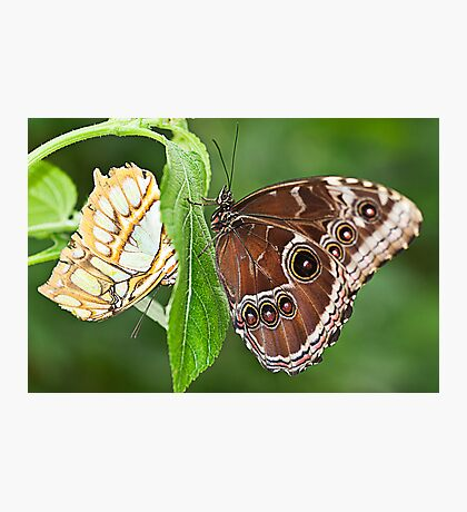 Two Butterflies on A Stem Photographic Print