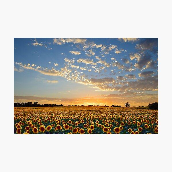 Kansas Sunflowers at Sunset Photographic Print