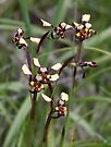 Common Donkey Orchid by LeeoPhotography