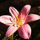 Pink beauty by Ana  Marija