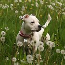 Millie in the Dandelions! by LisaRoberts