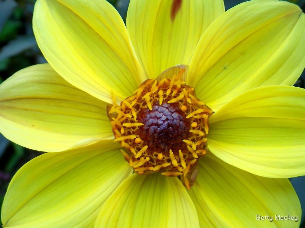 Yellow Dahlia by Betty Mackey