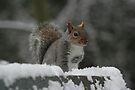 Squirrel 7 by Peter Barrett