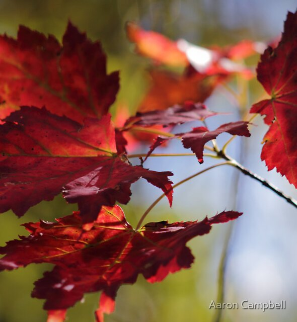 Torch Red Maple Leaves by Aaron Campbell