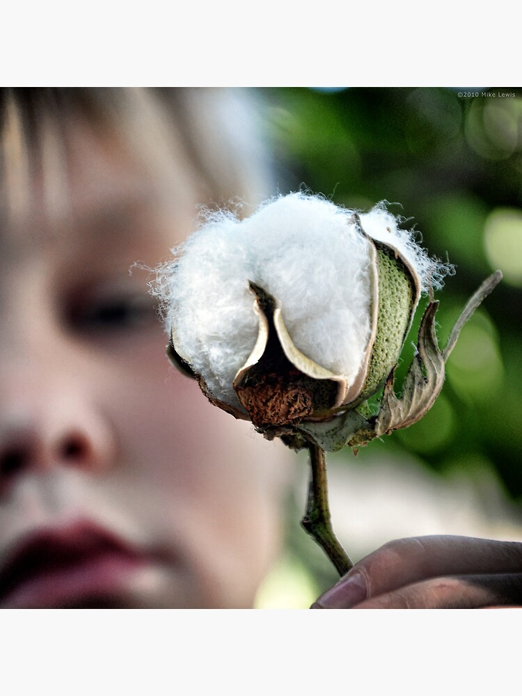Pima Cotton by Reydoo