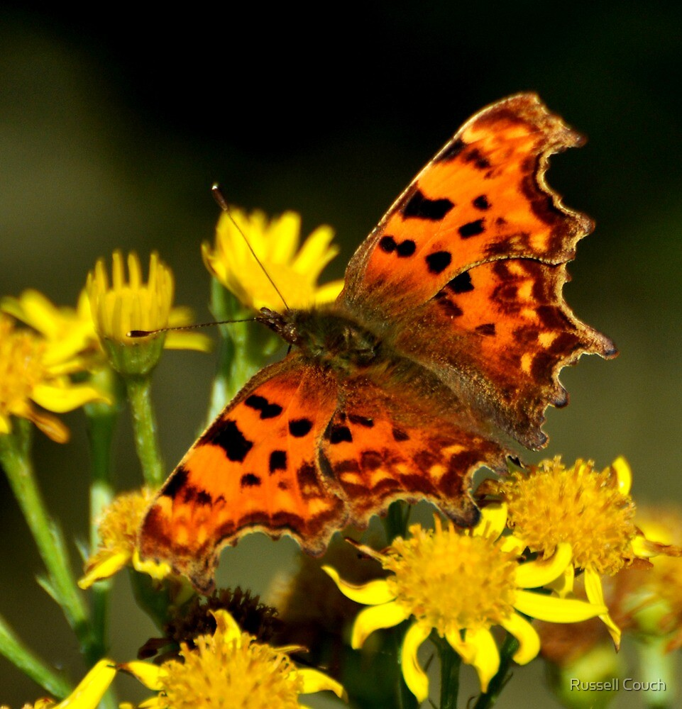 Comma Butterfly by Russell Couch
