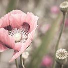 Pastel Poppy  by Brixhood