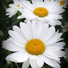 A Lovely Pair Of Shasta Daisies by kkphoto1
