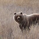 Grizzly Bear (Ursus arctos) by Marty Samis