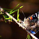 What am I ???? Kalgoorlie, West Australia by robynart