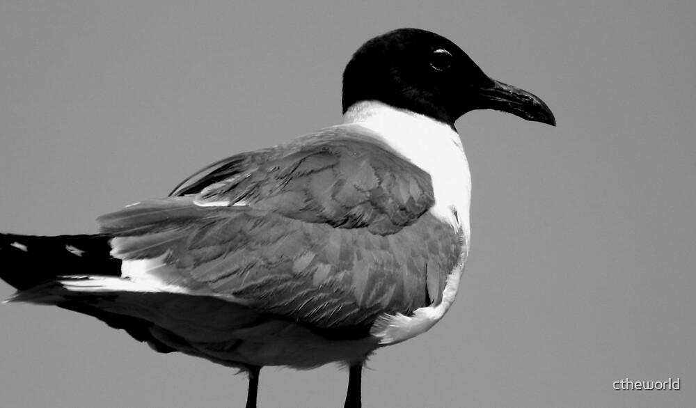 Seagull in B&W by ctheworld