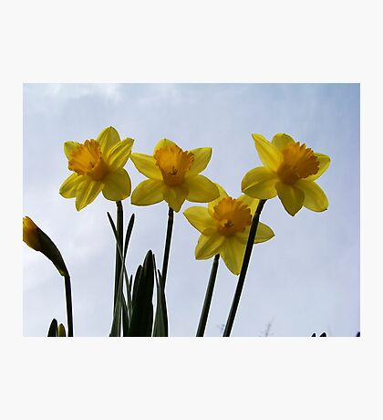 The first Daffodils of spring! Photographic Print