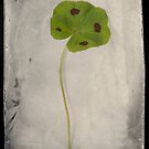 Four Leaf Clover by Catherine Hadler