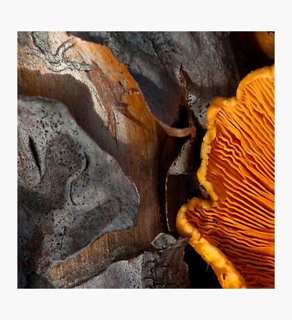 Gills, on wood Photographic Print