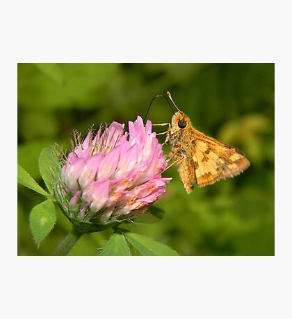 A TINY male Fiery Skipper. Photographic Print