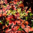 Dogwoods in October by Phillip M. Burrow