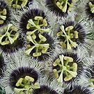 Passion Fruit Blossoms by D. D.AMO