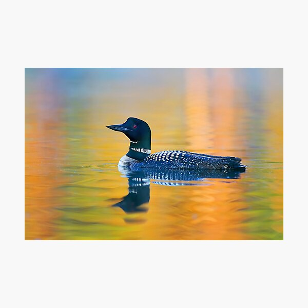 Rainbow Loon - Common Loon Photographic Print