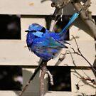 Blue Wren T'shirt by Coralie Plozza