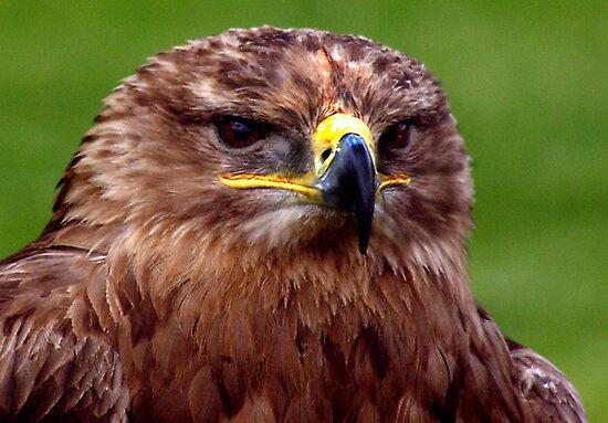 Falcon by Trevor Kersley