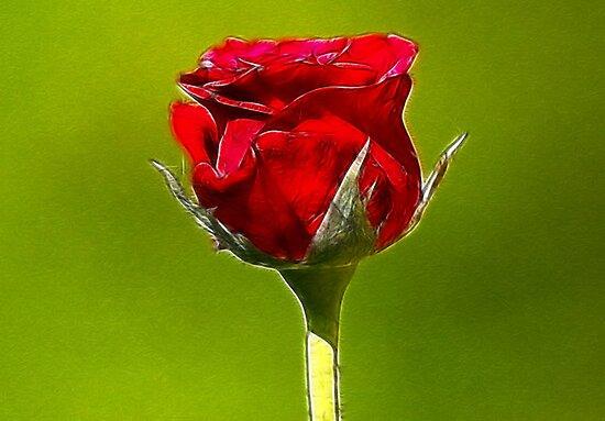 Red Rose by Trevor Kersley