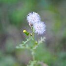 Little couple of dandelion by shkyo30