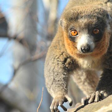 Mongoose Lemur by w1ldsnaps