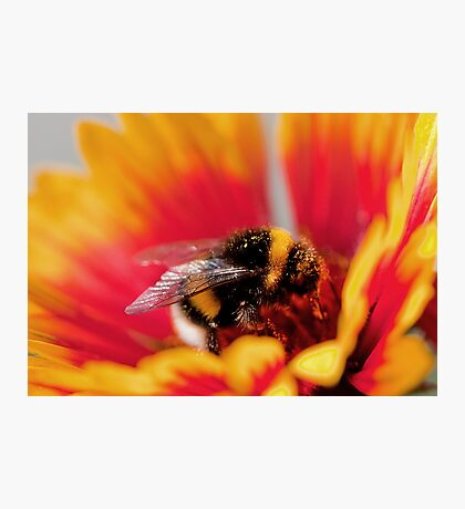 Hayfever Beeware Photographic Print