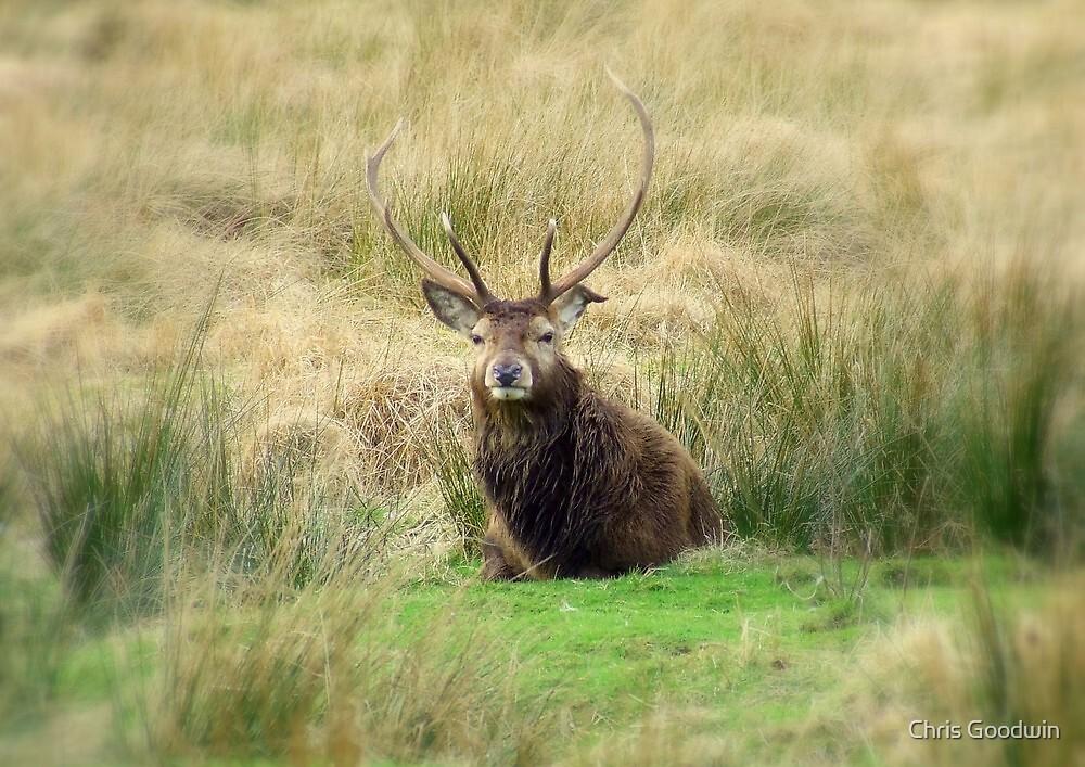 Stag - Glencoe, Scotland  by Chris Goodwin
