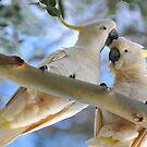Sulpher Crested Cockatoos In Our Back Paddock. Brisbane, Queensland, Australia by Ralph de Zilva