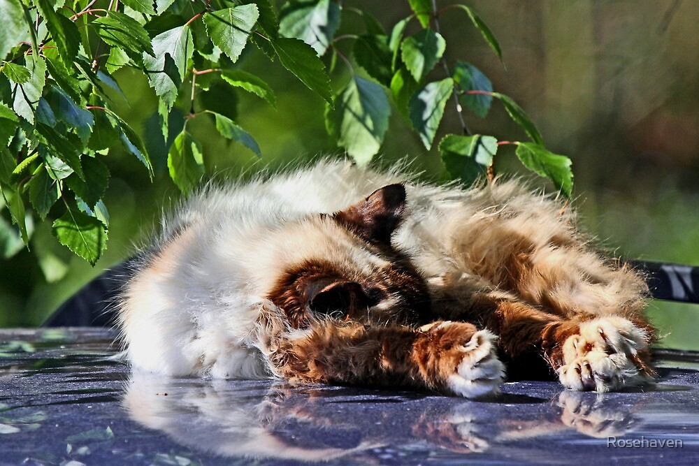 """""""Paws Warmed by the Sun ..."""" by Rosehaven"""