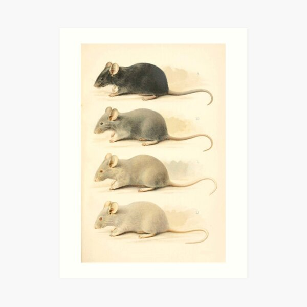 Vintage Mouse Scientific Illustration Art Print