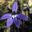 Wax-Lip Orchid (Glossodia major R.Br) by Bev Pascoe