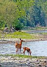 Doe and Fawn - Dunrobin Ontario by Debbie Pinard