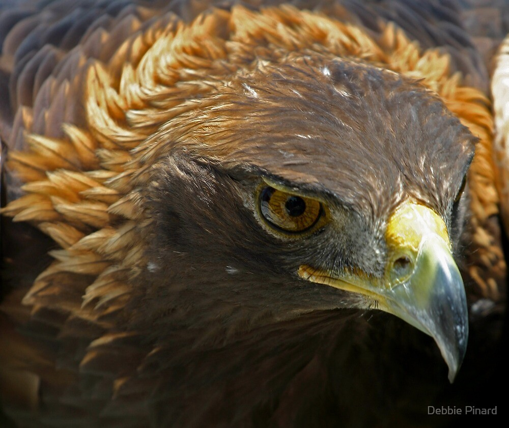 Quot The Face Of A Red Tailed Hawk Ontario Quot By Debbie Pinard