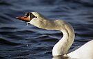 Swan by Michael Haslam
