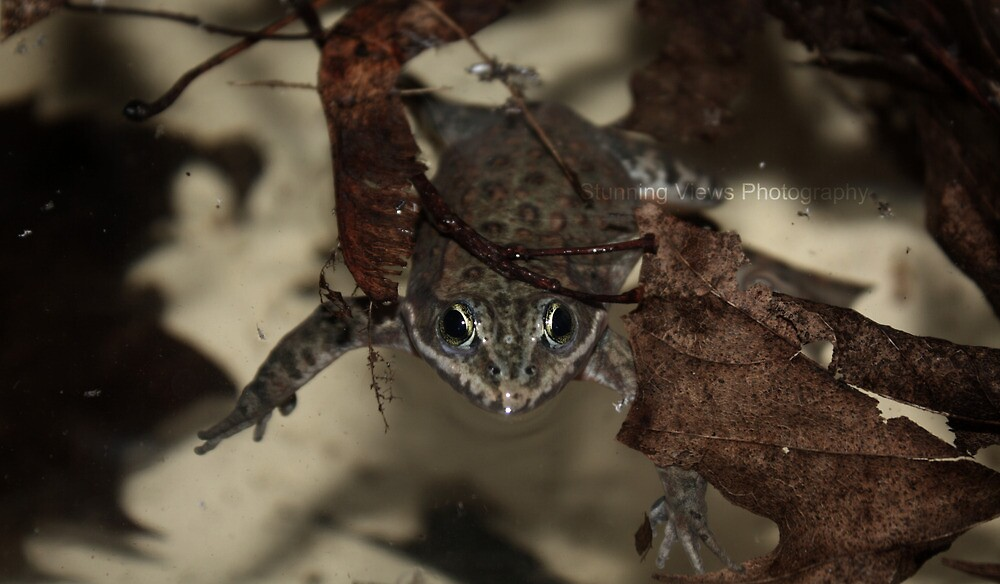 Frogs are adorable by Oceanna Solloway