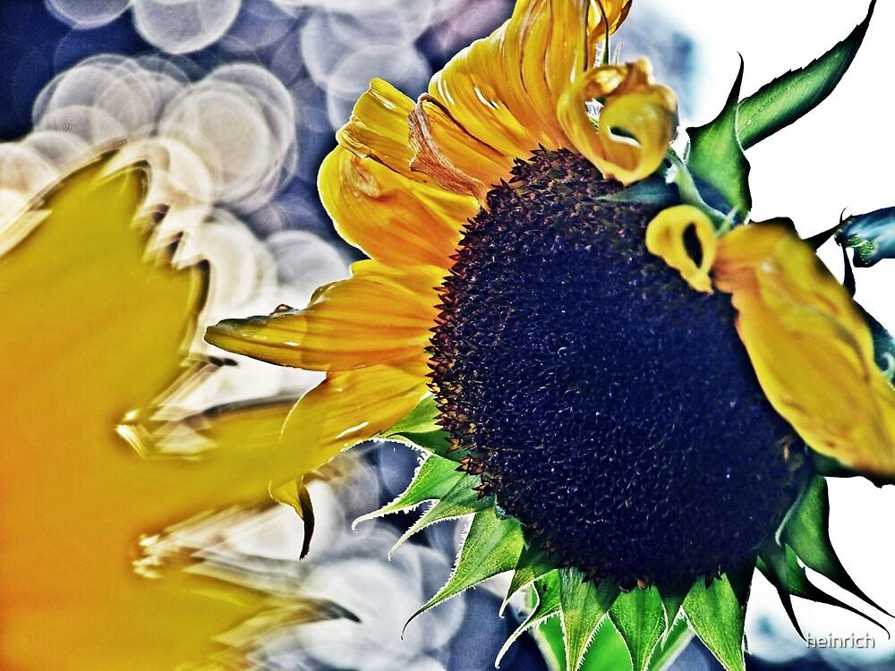 Sunflower by heinrich