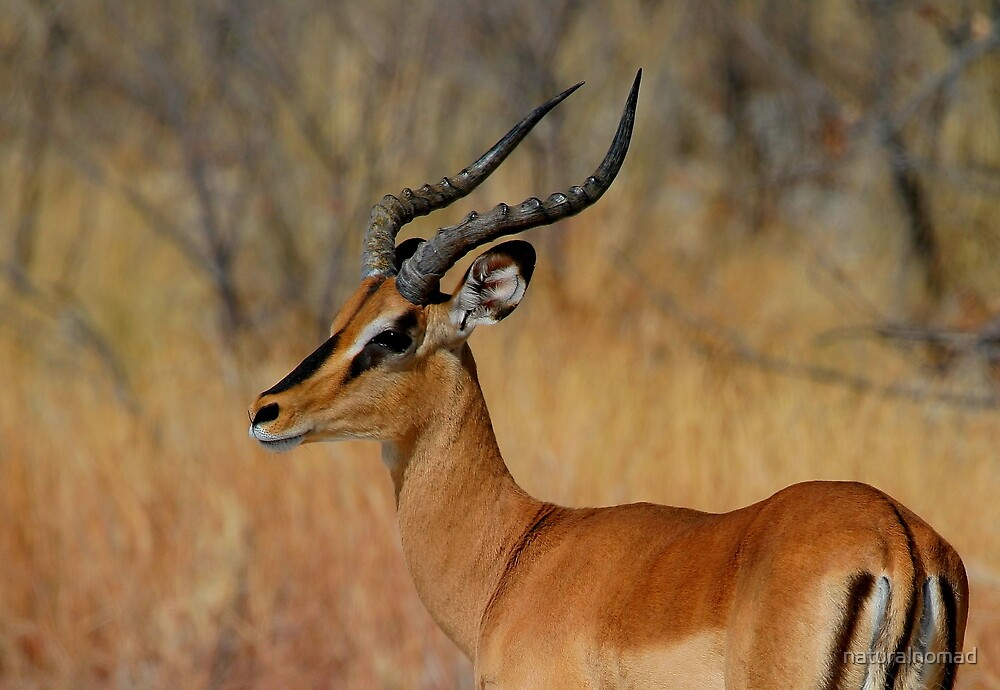 Black-faced Impala by naturalnomad