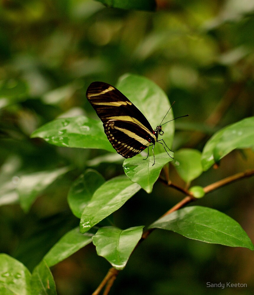 Zebra Longwing  Butterfly by Sandy Keeton