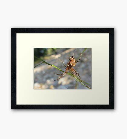 Marbled Orb-weaver Framed Print