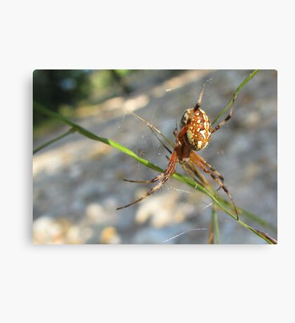Marbled Orb-weaver Canvas Print