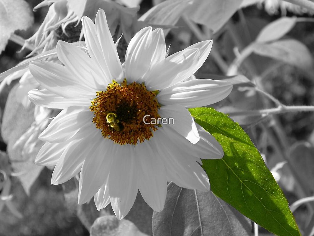 Bee on Sunflower by Caren
