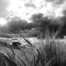 Barley heads on the sunshine by shutternutter