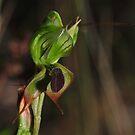 Pterostylis gibbosa by Colin12