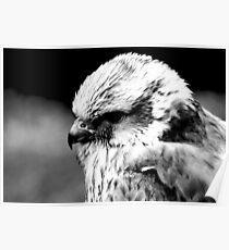 A Saker Falcon in B&W Poster